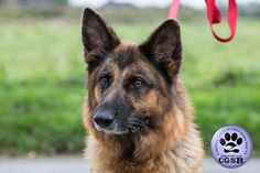 Central German Shepherd Rescue wishes Tess, a young 7 year old female German Shepherd best wishes in her adoption from CGSR. Female German Shepherd, German Shepherd Rescue, United Kingdom, Fur, Friends, Amigos, England, Boyfriends, Feather