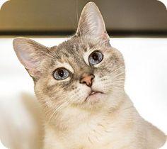 Medina, OH - Siamese. Meet Shelby, a cat for adoption. http://www.adoptapet.com/pet/13428867-medina-ohio-cat