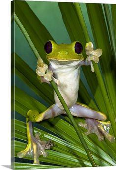 Large Solid-Faced Canvas Print Wall Art Print entitled Gliding Leaf Frog (Agalychnis spurrelli), northwest Ecuador
