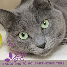 July 23rd is Clear the Shelters day. We're sharing adoptable animals now through the end of the month! Lets clean those shelters out of cuties like these!  Meet Waffles this adult female is looking for a forever home with the help of our friends at Feline Rescue, Inc.