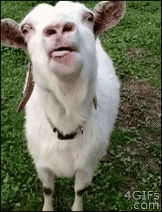 This goat who literally cannot believe that he is a goat and can wag his tongue like this and nobody can tell him to put it back in his mouth. | 23 Goats Who Cannot Believe They're Really Goats