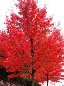 Autumn Blaze Red Maple -  Freeman maple (Acer freemanii), having the best traits of both without their drawbacks.  'Jeffersred' has brilliant red fall color, and unlike its red maple parent will grow well in alkaline soils.