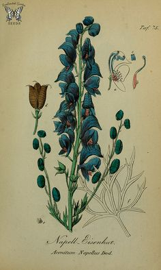 Wolfsbane. Aconitum napellus. Sammtlich Giftgewache Deutschlands (1854)