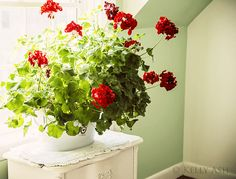 Red Geraniums Indoors
