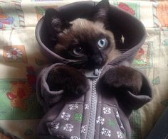 My friend's cat is ready for winter :) - Imgur