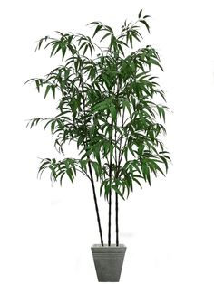 51 Best Bamboo Plants Images Bamboo Plants Plants Bamboo