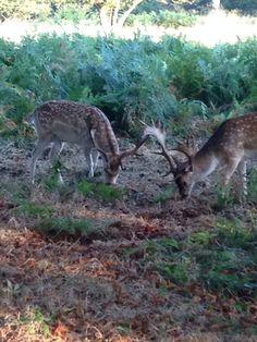 Gentle Fallow deer in the run up to rutting season