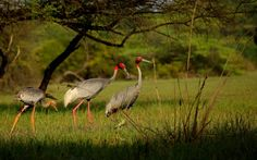 Keoladeo National Park, Shreenagar Rural, India — by Manoj. The Saras crane -classified as vulnerable on the IUCN Red List. A family of Saras is an even more rare sight, was...