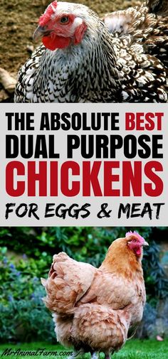 Looking for chicks that are great birds and egg layers? There are several awesome dual purpose chicken breeds you may want to consider so you can get both eggs and meat! Best Egg Laying Chickens, Keeping Chickens, Raising Chickens, How To Raise Chickens, Laying Hens, Chicken Breeds For Eggs, Chicken Eggs, Chicken Feed, Building A Chicken Coop
