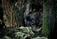 .Look out ...Wolf behind you!!!