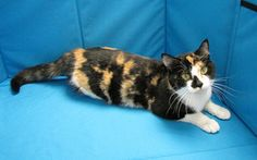 no longer available -- Piper is an adoptable Calico Cat in Springfield, IL. Sangamon County had an�anonymous�party donate money to subsidize adoption fees on all cats over one year of age that are adopted through the facili...