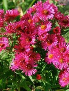 Aster 'Andenken an Alma Potschke' Sold by Claire Austin Plants