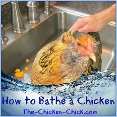 I remember doing this when our kids were in 4-H and showing chickens. Birds seemed to enjoy it.