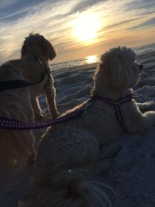 Do your dogs need a beach trip. Take your best friend(s) to Cape San Blas, FL! Our beaches are pet-friendly! Cape San Blas Florida, Your Best Friend, Best Friends, Labradoodles, Us Beaches, White Sand Beach, Beautiful Dogs, Beach Trip, Dog Friends