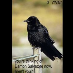 Sighting a crow makes you think: Damon Salvatore. TVD