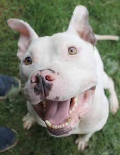 Please read his story.  -   Meet Olaf, a Petfinder adoptable Pit Bull Terrier Dog | Memphis, TN | Olaf nearly broke our hearts in two when we found him at Memphis Animal Services. He was in such... #adopt #AdoptDontShop #SafePitbulls