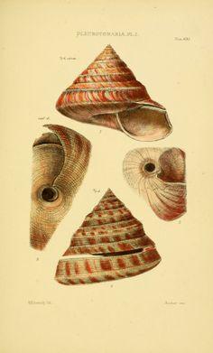 Pleurotomaria.  From plates v 5 - Thesaurus conchyliorum, or, Monographs of genera of shells / - Biodiversity Heritage Library