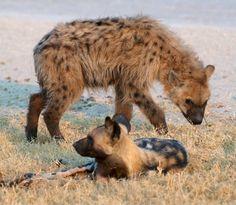 fruitofamoon:  Hyena with adopted wild dog - Vahé Guzelimian