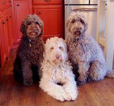 A Labradoodle is a crossbreed dog created by crossing the Labrador retriever and the standard, Moyen, or Miniature poodle. This list of the cutest, most adorable labradoodle pictures includes pictures of adult labradoodles as well as labradoodle puppies. Beautiful Dogs, Animals Beautiful, Cute Animals, I Love Dogs, Cute Dogs, Adorable Puppies, Labradoodle Pictures, Double Doodle, Dog Crossbreeds