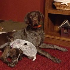 German Shorthair Pointer. A great breed!
