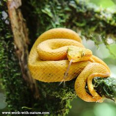 Eyelash #viper in the #rainforest of the project area of foundation Work with Nature @San Miguel #CostaRica #snakes #creapycrawly #wildlifeofcostarica #wildlife #conservation #nature #lovenature #naturelovers #natuurfoto #puravida