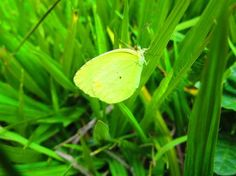 """"""" YELLOW BUTTERFLY """" Photo by PAULO GRACINDO M. — National Geographic Your Shot"""