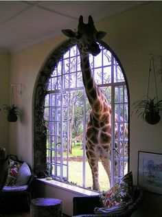 So, what's going on in here?  A giraffe in at the window. Happens to me every day. Not!