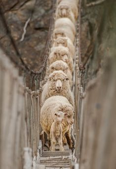 (via Rew Elliott: It's Perfectly Natural: #sheep on a #bridge ngc-2008: Pasarela by Eliseo Miciu | It's Perfectly Natural | Pinterest)