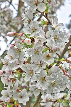 Closeup view of beautiful white blossoms in Washington State. http://carol-groenen.pixels.com Copyright: Carol Groenen  #whiteblossoms #spring #springtime #blossoms #fruittreeblossoms #springtime #nature #botanical #whiteflorals #florals