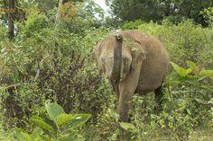 Wild Asian Elephant Display - Udawalawe National Park, Sri Lanka  #Udawalawe #NationalPark #animal #asianelephant #conservation #ears #elephant #family #female #herbivore #ivory #large #mammal #mother #motherhood #nature #outdoors #park #safari #srilanka #travel #tree #trunk #walking #wild #wilderness #wildlife #jorelcuomo