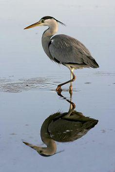 per prior pinner: Italy - Lazio - Grey Heron (Airone cinerino) from Regional Nature Reserve of Monterano