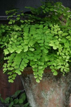 The Pacific Maidenhair Fern can add a bit of graceful elegance to any partial to fully shaded area of your garden. The fronds emerge in early spring on black, wire-like stems that reach 18-24 inches. Your Pacific Maidenhair should be planted in a rich, humus soil and provided with constant, even moisture. Zones 3-8