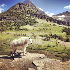 A mountain goat poses for his picture on the Hidden Lake trail, in Glacier National Park.