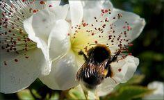 Hummel in einer Blüte - Jahreszeiten - Galerie - Community
