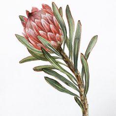 Botanical Flowers, Botanical Illustration, Botanical Prints, Watercolor Illustration, Watercolor Cards, Watercolor Flowers, Flowers Nature, Flor Protea, Protea Art
