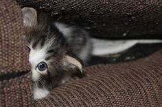 peek-a-boo by Elizabeth Sztejner Skillings - mnth old kitten playing Click on the image to enlarge.