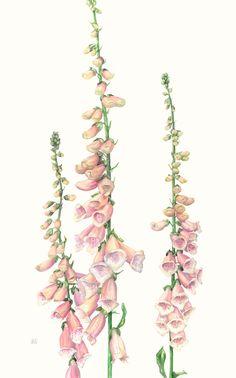 Fig Drawing, Nature Drawing, Plant Drawing, Vintage Botanical Prints, Botanical Drawings, Botanical Flowers, Botanical Art, Plant Illustration, Botanical Illustration