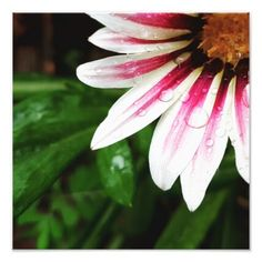 Gazania after the rain photo print - photography gifts diy custom unique special