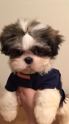 Omg adorable.  The Shih-Tzu looks cuter when the hair is short and messy. #dogs #puppies #ShihTzus