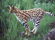 El Serval, gato salvaje