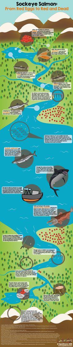 Life of Sockeye Salmon (and how it eventually feeds trees) via http://www.squidtoons.com/uploads/2/2/5/9/22596580/701532380.jpg By homicida...