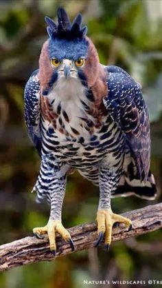 Hawk Eagle.  Very imposing.