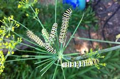 Save money by growing butterfly host plants from seed for your butterfly garden. - Save money by growing butterfly host plants from seed for your butterfly garden. Get an early start - Butterfly Garden Plants, Butterfly Weed, Garden Bugs, Monarch Butterfly, Flowers That Attract Butterflies, Beautiful Butterflies, Pretty Flowers, Swamp Milkweed, Butterfly Species