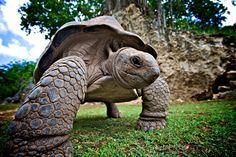"""Tortoise""  *Mauritius Island*  [Photographer Riemenpix - March 7 2011]'h4d'120913"