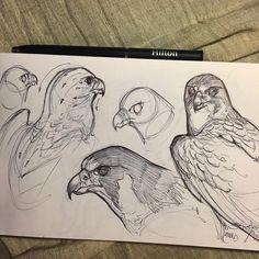 Friday night falcon sketch #inktober #sketch #sketchbook #cottonwoodarts #raptor #birdofprey #falcon #peregrinefalcon #animal #animaldrawing #jonnadon1 #jonathankuo