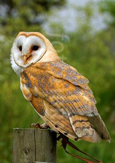 European Barn Owl on a post (image preview: FOT91378)