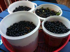 Freshly picked blueberries in plastic buckets