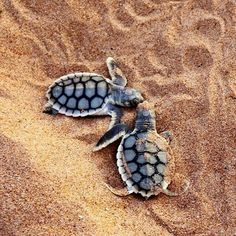 Best photos, images, and pictures gallery about baby sea turtle - sea turtle facts. Baby Animals Super Cute, Cute Little Animals, Cute Funny Animals, Baby Sea Turtles, Cute Turtles, Baby Animals Pictures, Cute Animal Photos, Photos Of Animals, Pet Pictures