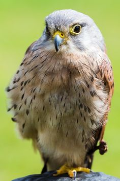 Up close with a Kestrel.  Enjoy my other images of nature in full size by clicking on the thumbnail.  They are also available to buy in a variety for formats or as a digital download without the watermark. #birdofprey #kestrel