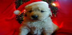 Christmas Puppy Pictures Wallppers